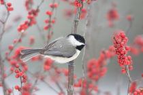 Carolina Chickadee in Common Winterberry in winter, Marion, ... von Danita Delimont