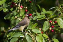 Cedar Waxwing eating berry in Serviceberry Bush, Marion, Ill... von Danita Delimont