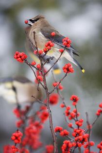Cedar Waxwing eating Common Winterberry by Danita Delimont