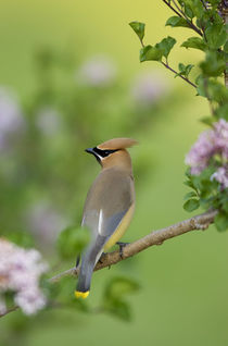Cedar Waxwing on Lilac Bush Marion, Illinois, USA. by Danita Delimont