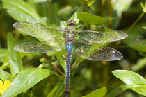 Common Green Darner male in wetland, Ballard Nature Center, ... by Danita Delimont