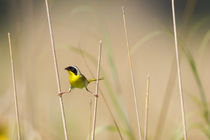 Common Yellowthroat male with food in prairie, Marion, Illinois, USA. von Danita Delimont