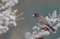 Dark-eyed Junco in spruce tree in winter Marion, Illinois, USA. by Danita Delimont