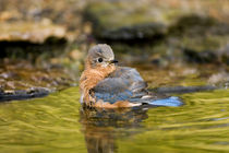 Eastern Bluebird female bathing, Marion, Illinois, USA. von Danita Delimont