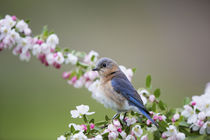 Eastern Bluebird female in Crabapple tree in spring Marion, ... by Danita Delimont