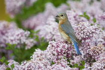 Eastern Bluebird female in Lilac bush, Marion, Illinois, USA. von Danita Delimont