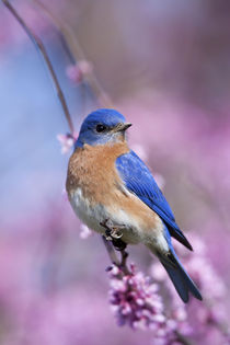 Eastern Bluebird male in Eastern Redbud in spring, Marion, I... von Danita Delimont