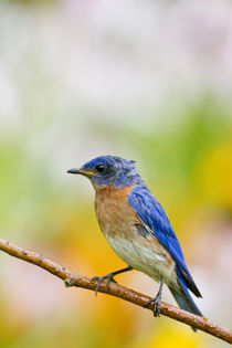 Eastern Bluebird male in flower garden, Marion, Illinois, USA. von Danita Delimont