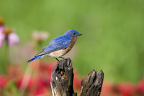 Eastern Bluebird male on fence post in flower garden Marion,... von Danita Delimont