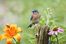 Eastern Bluebird male on fence post near flower garden, Mari... von Danita Delimont