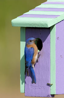 Eastern Bluebird male on nest box, Marion, Illinois, USA. von Danita Delimont