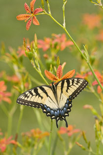 Eastern Tiger Swallowtail on Blackberry Lily by Danita Delimont