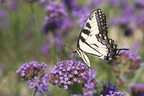 Eastern Tiger Swallowtail on Brazilian Verbena von Danita Delimont