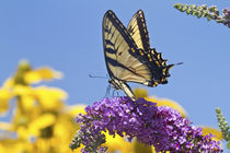 Eastern Tiger Swallowtail butterfly on Butterfly Bush, Mario... by Danita Delimont
