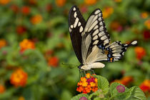 Giant Swallowtail on Red Spread Lantana by Danita Delimont
