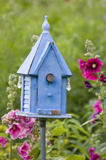 House Wren at blue nest box near Hollyhocks by Danita Delimont