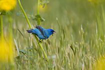 Indigo Bunting male on Butterweed, Marion, Illinois, USA. von Danita Delimont