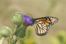 Monarch on Pasture Thistle Prairie Ridge SNA, Marion, Illinois, USA. von Danita Delimont