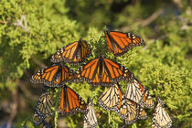 Monarch butterflies roosting in Eastern Red Cedar tree, Prai... by Danita Delimont