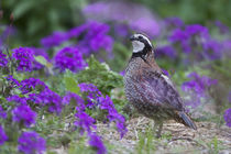 Northern Bobwhite quail male in flower garden with Homestead... by Danita Delimont