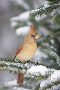 Northern Cardinal female in Balsam fir tree in winter, Mario... by Danita Delimont
