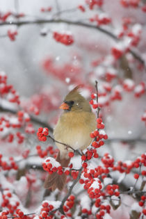 Northern Cardinal female in Common Winterberry in snowstorm,... by Danita Delimont