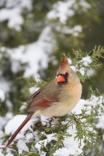 Northern Cardinal female in Juniper tree in winter Marion, I... by Danita Delimont