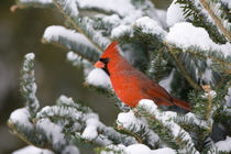 Northern Cardinal male in Balsam fir tree in winter, Marion,... by Danita Delimont