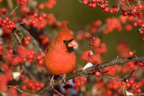 Northern Cardinal male in Common Winterberry in winter, Mari... von Danita Delimont