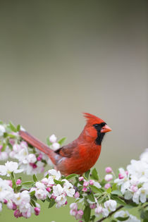 Northern Cardinal male in Crabapple tree in spring Marion, I... von Danita Delimont