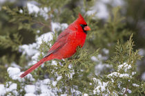 Northern Cardinal male in Juniper tree in winter Marion, Ill... by Danita Delimont