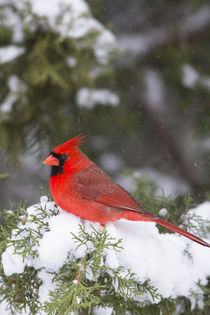 Northern Cardinal male in Juniper tree in winter Marion, Ill... von Danita Delimont