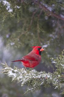 Northern Cardinal male in Keteleeri Juniper tree in winter, ... von Danita Delimont