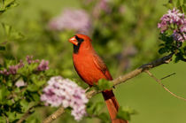 Northern Cardinal male in Lilac bush, Marion, Illinois, USA. by Danita Delimont