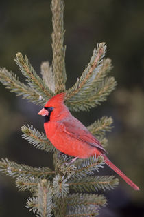 Northern Cardinal male in spruce tree, Marion, Illinois, USA. by Danita Delimont
