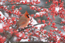 Northern Cardinal male in Common Winterberry in snowstorm, M... by Danita Delimont