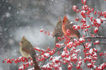 Northern Cardinals male and females in Common Winterberry in... von Danita Delimont