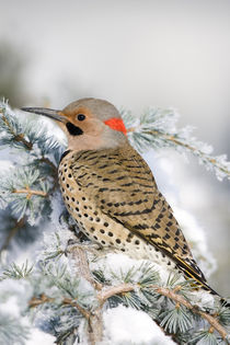 Northern Flicker male on Blue Atlas Cedar in winter Marion, ... von Danita Delimont