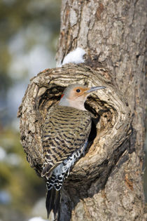 Northern Flicker male on dead tree in winter, Marion, Illinois, USA. by Danita Delimont