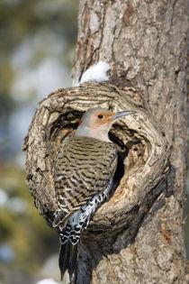 Northern Flicker male on dead tree in winter, Marion, Illinois, USA. von Danita Delimont