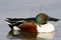 Northern Shoveler male in wetland, Marion, Illinois, USA. von Danita Delimont