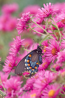Pipevine Swallowtail on New England Aster Marion, Illinois, USA. by Danita Delimont