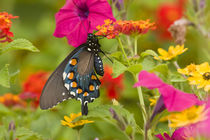 Pipevine Swallowtail on Red Spread Lantana in butterfly gard... von Danita Delimont