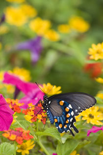 Pipevine Swallowtail on Red Spread Lantana in butterfly gard... by Danita Delimont