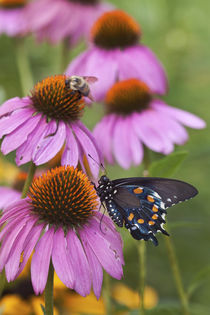 Pipevine Swallowtail Butterfly male on Purple Coneflower, Ma... by Danita Delimont