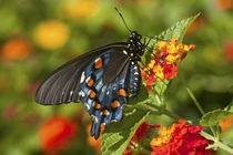 Pipevine Swallowtail Butterfly male on Red Spread Lantana, M... by Danita Delimont