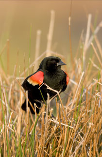 Red-winged Blackbird male singing, displaying in wetland Mar... by Danita Delimont