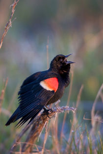 Red-winged Blackbird male singing-displaying in wetland Mari... von Danita Delimont