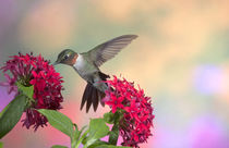 Ruby-throated Hummingbird male on Red Pentas by Danita Delimont