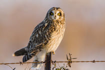 Short-eared Owl on fence post Prairie Ridge State Natural Ar... by Danita Delimont